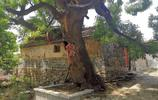 """組圖:""""小帽頂""""的大槐樹,見證膠東小山村的時光變遷"""