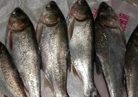 鰱魚可以做水煮魚嗎 鰱魚怎麼做水煮魚