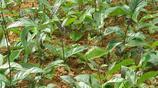 和乾隆皇帝長壽有關的一味中草藥,只有在南方才能見到