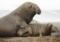配偶最多的雄性哺乳動物