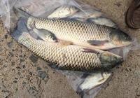 瞭解釣草魚、鰱鱅的自制窩料總結後,江河湖泊中的魚兒任你垂釣