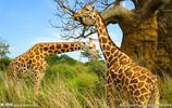 長頸鹿:棲息環境