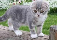 適合家養的寵物貓,山東獅子貓、英短、狸花貓等快看有你喜歡的嗎