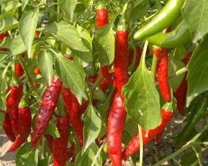 辣椒田間:辣椒的旱季管理技能