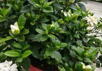 """6月養梔子花,1個""""施肥""""技巧,葉油綠,花苞多,朵朵花兒美"""