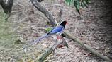 一群紅嘴藍鵲,每天中午都會到樹木園深處的小水塘邊洗澡