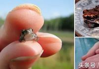 解密、世界之最的青蛙和你沒見過五顏六色的各種青蛙