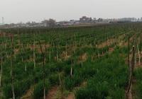 農村有些莊稼地裡不種糧食,卻栽上了樹,這是什麼原因?