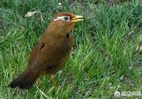 對於生頭畫眉鳥,初期馴養,有什麼需要注意的嗎?