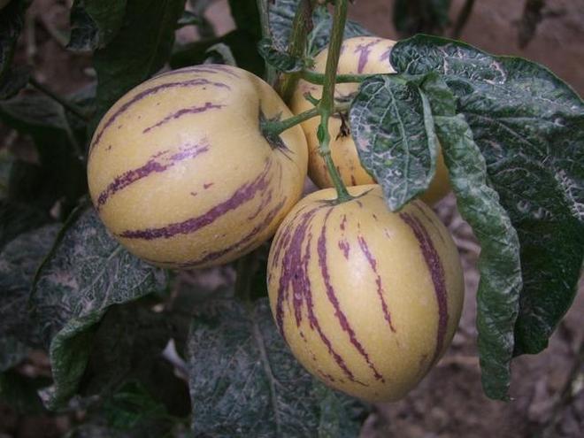 全國只有一個地方有種植的神祕水果,很多人都沒吃過!