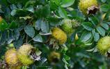 假如讓你回到小時候,這6種野果子只能吃3種,你會選誰?