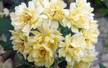 這7種的爬藤植物一開花就成瀑布,很簡單就讓陽臺成為小花園