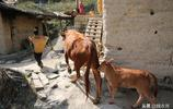 3頭牛是大媽家的寶貝 夫妻倆帶著孫女留守大山盼兒歸