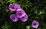植物圖集:月光花植物美圖
