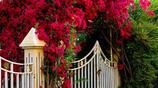 養一株爬藤,爬滿一陽臺,開花時成了全小區最美的景點