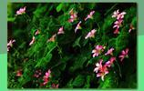 圖蟲靜物攝影:紅花酢漿草的絢麗