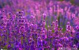 夏天有一種花,會將所到之處變成一片紫色花的海洋,你見過嗎