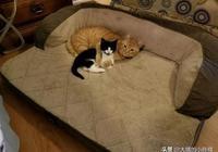 小夥撿到一隻小貓,帶回家後卻被老貓霸氣收養,老貓:家中我最大