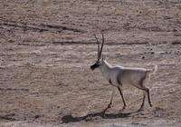 物種百科:藏羚羊
