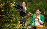 湖北通城:荒山種出金果果