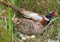 農村老人常說,春天的野雞和冬天的野兔不能撿,這是為何?