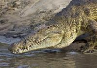 灣鱷跟大白鯊誰厲害?