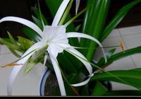那一樹白蘭花香,它隨風去了哪?