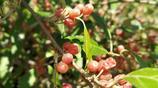 沂蒙山上,小小的紅色果實,酸酸的,甜甜的,不是酸棗,是什麼?