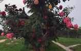 山香木老樁嫁接月季立即升值百倍,盆栽一株上千塊,美翻了