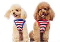 """如果你正在考慮養一隻""""泰迪犬"""",這6點你要知道!"""