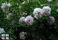 桃花、杏花、牡丹、芍藥相繼凋謝,這個夏天臨夏人該去哪裡賞花?
