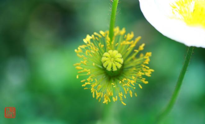 攝影人如何拍出花卉的意境?8條實拍經驗帶你領略詩意虞美人