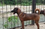 中國西南地區特有犬種,涼山獵犬美圖欣賞