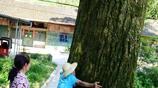 農村千年藥王樹,高60米4人圍抱,被村民奉為神樹