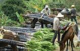 實拍蔗農收甘蔗,場面好壯觀,有沒有想幫忙的,甘蔗吃到飽