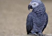 """鸚鵡中的""""灰太狼"""",非洲灰鸚鵡"""