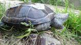 草龜和石菖蒲環境,每天看著他們都是種享受