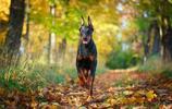 杜賓犬這耳朵太漂亮了