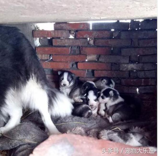 帶著二哈回了一趟農村老家懷孕了,寶寶生下來後鄰居笑壞了
