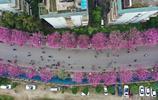 實拍:柳州27萬株洋紫荊競相盛放 粉色風暴席捲街巷撩動少女心