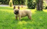 動物圖集:醜萌法國鬥牛犬