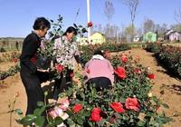 洛南玫瑰小鎮 五一開園 帶你看玫瑰
