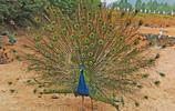 河南深山裡的孔雀谷,八千隻孔雀吸引遊人,旅遊帶動周邊脫貧致富