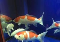 我們飼養觀賞魚,怎麼能夠做到魚多密度大養魚還不掛?