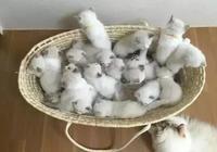 一口氣生下19只奶貓,能賣到20萬人民幣,餵奶時貓媽生無可戀