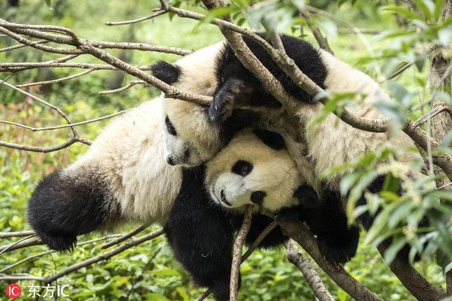 以色列攝影師探訪四川大熊貓繁殖中心 拍下滾滾萌態日常