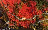 看萬山紅遍 濟南4000畝野生黃櫨迎來最佳觀賞季