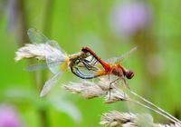 炎炎夏日,想拍攝蝴蝶、蜜蜂等會飛的昆蟲,怎樣拍效果好?有什麼方法?