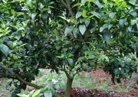 什麼原因啊,五年的沙糖桔樹今年都沒有花?