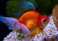 新手該怎麼養好金魚,要注意哪些事情?來聽聽寵物店老闆怎麼說